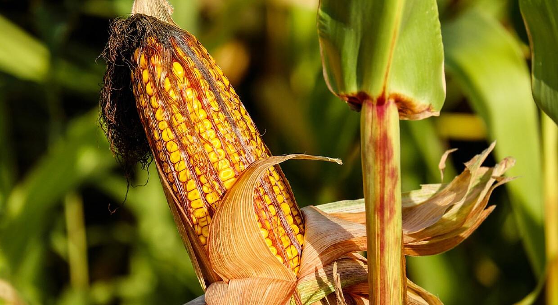 Кукурудза з України зростає на новинах про гірший врожай і досягла $283 за тонну